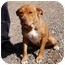 Photo 3 - Pit Bull Terrier/Shar Pei Mix Dog for adoption in Cedaredge, Colorado - Reba