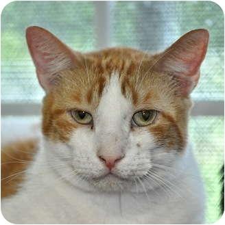Domestic Shorthair Cat for adoption in Carencro, Louisiana - Tangelo