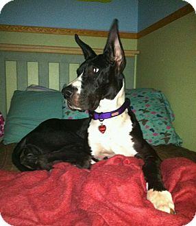 Great Dane Dog for adoption in Austin, Texas - Pepsi