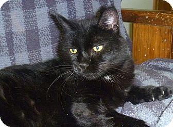 Domestic Shorthair Cat for adoption in Hamburg, New York - Darla