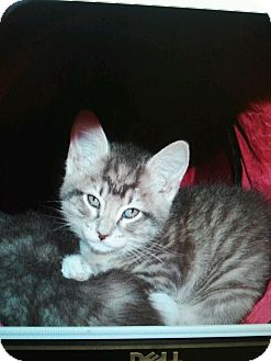 Domestic Mediumhair Kitten for adoption in White Settlement, Texas - Macy's Yu2-adoption pending