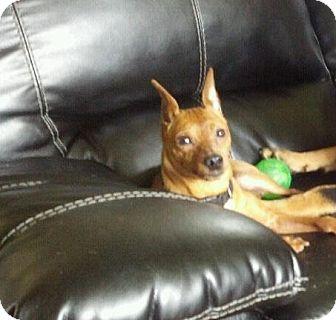 Miniature Pinscher Dog for adoption in Myersville, Maryland - Gabriel