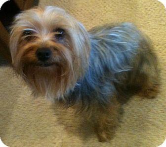 Yorkie, Yorkshire Terrier Dog for adoption in Orange, California - Lizzie