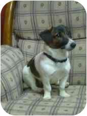 Jack Russell Terrier/Dachshund Mix Dog for adoption in Portsmouth, Rhode Island - Winnie 2