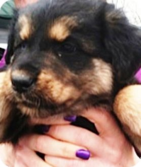 German Shepherd Dog/Australian Shepherd Mix Puppy for adoption in Oswego, Illinois - Holly Berry
