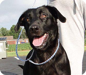 Labrador Retriever Mix Dog for adoption in Salem, Massachusetts - Princess