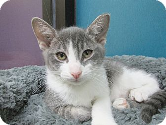 Domestic Shorthair Kitten for adoption in Benbrook, Texas - Mousie