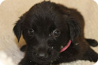 Chow Chow/Labrador Retriever Mix Puppy for adoption in Waldorf, Maryland - Davina