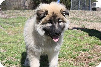 Keeshond/Shepherd (Unknown Type) Mix Puppy for adoption in Conway, Arkansas - Chewy