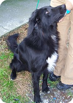 Flat-Coated Retriever Mix Dog for adoption in Arlington Heights, Illinois - Chipper