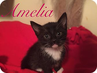 Domestic Shorthair Kitten for adoption in Cerritos, California - Amelia