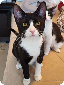 Domestic Shorthair Kitten for adoption in San Diego, California - Longinus