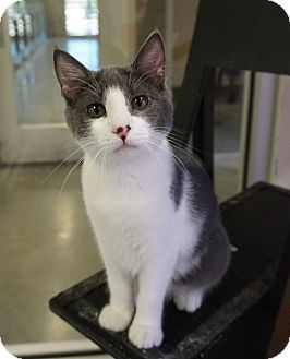 Domestic Shorthair Kitten for adoption in Farmington, New Mexico - Denim
