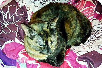 Domestic Shorthair Cat for adoption in Anoka, Minnesota - Dirty