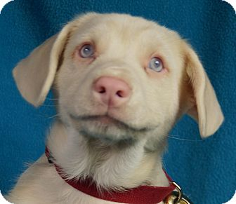 Terrier (Unknown Type, Medium) Mix Puppy for adoption in Minneapolis, Minnesota - Coby