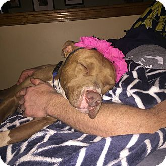 Pit Bull Terrier Mix Dog for adoption in Laingsburg, Michigan - CoCo Brown