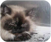 Himalayan Cat for adoption in Honesdale, Pennsylvania - Lana