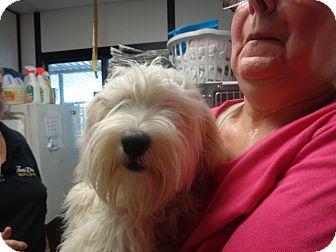 Schnauzer (Miniature)/Poodle (Miniature) Mix Dog for adoption in Manassas, Virginia - Filmore