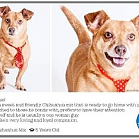 Chihuahua Mix Dog for adoption in Pompano Beach, Florida - Archie