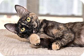 Domestic Shorthair Cat for adoption in Cashiers, North Carolina - Kahlua