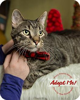 Domestic Shorthair Cat for adoption in West Des Moines, Iowa - Snitch