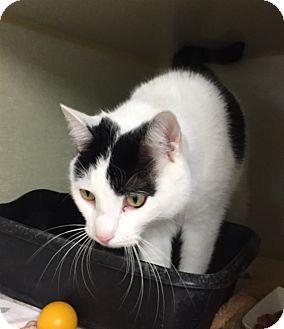 Domestic Shorthair Cat for adoption in Middletown, New York - Charlie Bear