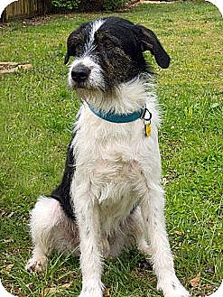 Irish Wolfhound/Border Collie Mix Dog for adoption in Acworth, Georgia - Baker