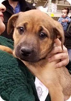 Retriever (Unknown Type) Mix Puppy for adoption in Gainesville, Florida - Mozzarella