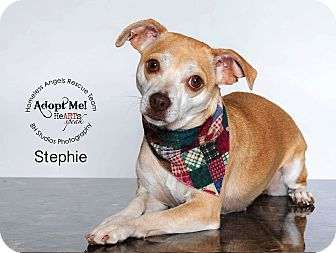 Pug/Terrier (Unknown Type, Small) Mix Dog for adoption in Houston, Texas - Stephie
