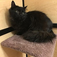 Adopt A Pet :: Midnight - Taylor, MI