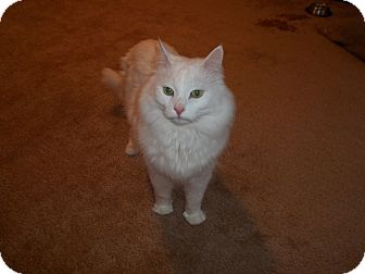 Turkish Angora Cat for adoption in Columbia Heights, Minnesota - Minoosh