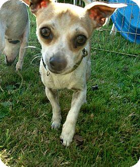 Chihuahua Dog for adoption in Tacoma, Washington - Cappuccino