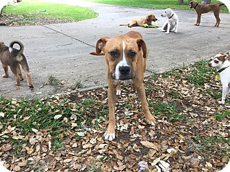 Boxer/American Bulldog Mix Dog for adoption in Boerne, Texas - George