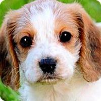Adopt A Pet :: DAISY(