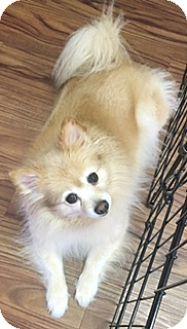 Pomeranian Dog for adoption in Cranford, New Jersey - Sandy