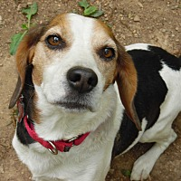 Beagle Dog for adoption in Millerstown, Pennsylvania - NASH