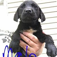 Adopt A Pet :: Tallon (NY-Jeannette) - Sherburne, NY