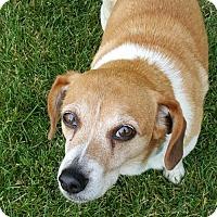 Adopt A Pet :: Betsy - Brooklyn Center, MN