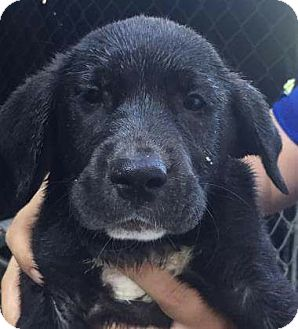 Flat-Coated Retriever Mix Puppy for adoption in Patterson, New York - Tic