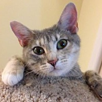Adopt A Pet :: Raisa SCAS - Rockaway, NJ