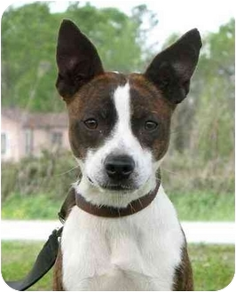 Boston Terrier Mix Dog for adoption in Portsmouth, Rhode Island - Joey