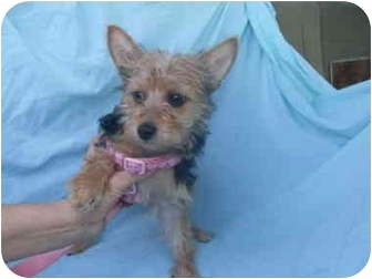 Yorkie, Yorkshire Terrier Mix Puppy for adoption in Rochester, New Hampshire - Lily