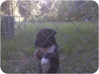 American Pit Bull Terrier/Shar Pei Mix Puppy for adoption in Greenville, South Carolina - Robo - 8wks old - ask 4 pic