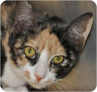 Calico Cat for adoption in Atlanta, Georgia - Sally