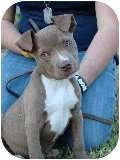 American Pit Bull Terrier Puppy for adoption in Bellflower, California - Brando