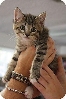 Domestic Shorthair Kitten for adoption in Nashville, Tennessee - Toby