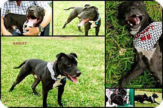 Labrador Retriever/American Bulldog Mix Dog for adoption in hollywood, Florida - Harley