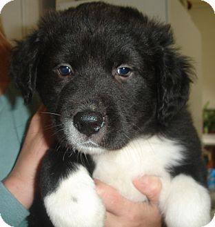 Labrador Retriever/Great Pyrenees Mix Puppy for adoption in Old Bridge, New Jersey - Goliath