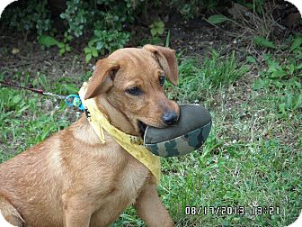 Dachshund/Terrier (Unknown Type, Small) Mix Puppy for adoption in Bedminster, New Jersey - Lil Bit