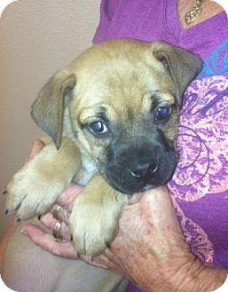 Boxer Mix Puppy for adoption in Nuevo, California - Peanut butter